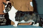 Cardigan Welsh Corgi image: Ch Baewyn Telltail Bottom's Up