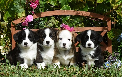 Cardigan Corgi puppies image: 6 week old puppies