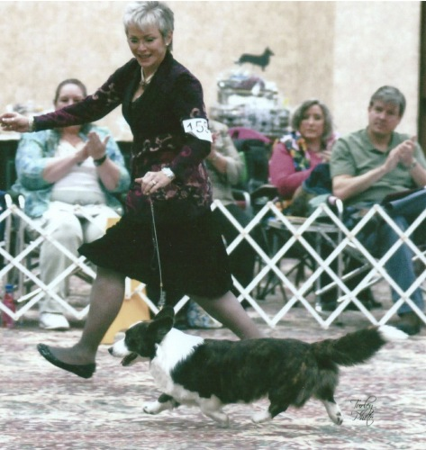 Current #1 Stud Dog, Cardigan Welsh Corgi Dickens on his way to a win at the Nationals