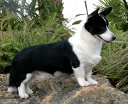 Cardigan Welsh Corgi image: Ch Pecan Valley Draco