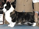 Cardigan Corgi image: Ch Pluperfect Princess Bride