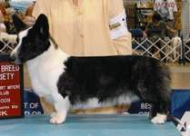 Cardigan Welsh Corgi image: Ch Sunkissed Naughty Or Nice