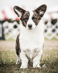 Cardigan Corgi: Telltail Dressed For Success