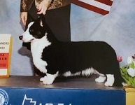 Cardigan Corgi image: Telltail In The Midnight Hour