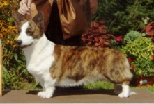 Cardigan Welsh Corgi image: Ch Telltail Naughty Paws