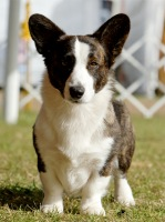 Cardigan Welsh Corgi image: MBIS MBISS CH Telltail Roragyn