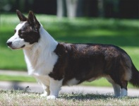 Cardigan Welsh Corgi image: Ch Telltail T For Two