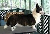 Cardigan Corgi image: Am Ch Trudytale's 