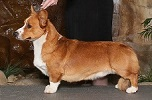 Cardigan Corgi image: Ch Twinroc Here Come The Redcoats